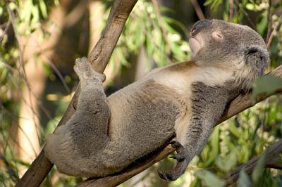 Забавный мишка - Коала чемпион по части сна.