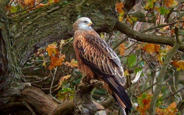 Коршун птица фото