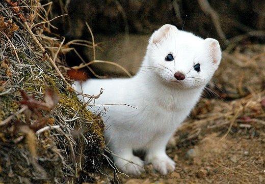 фото ласки зверька белой