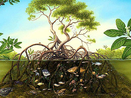 Так выглядят Мангровые деревья.