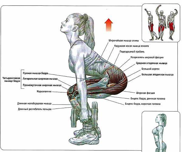 Как работают мышцы человека