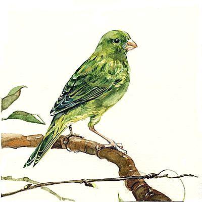 Зеленая канарейка