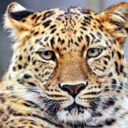 переднеазиатский леопард фото