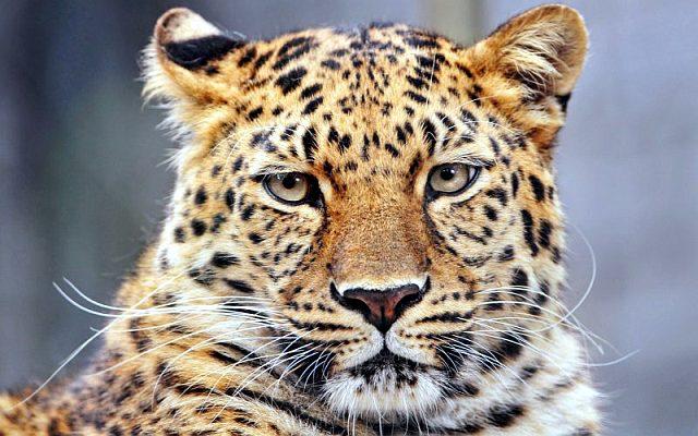 Про леопарда для детей
