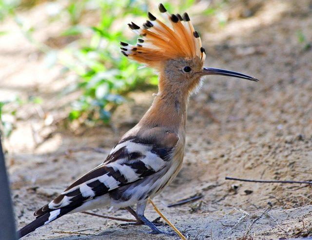 Ближайший родственник зимородка удод – фото и описание птицы на следующей странице.