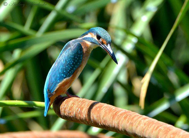 зимородок обыкновенный или голубой - фото
