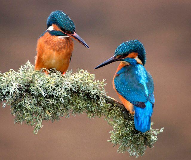 Так выглядит птица зимородок фото