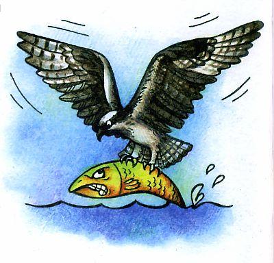 хищная птица скопа