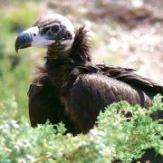 Виды грифов птицы