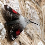 Стенолаз птица