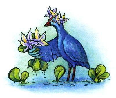 синяя птица - султанка