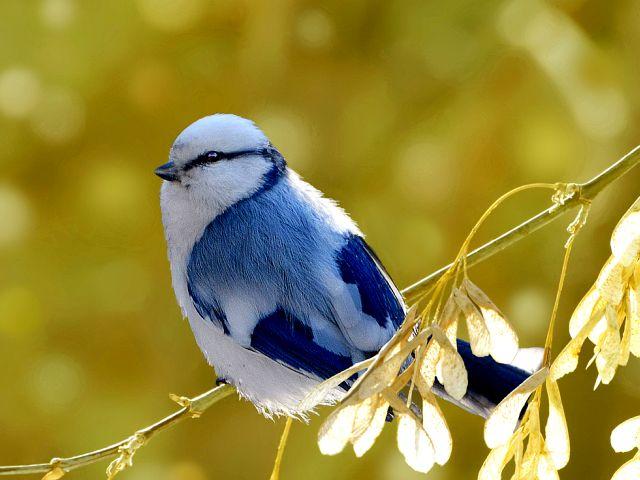Птица похожая на синицу – снежок или белая лазоревка