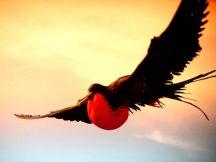 Правда, что есть птица пират и назвали ее в честь кораблей пиратов — фрегат.