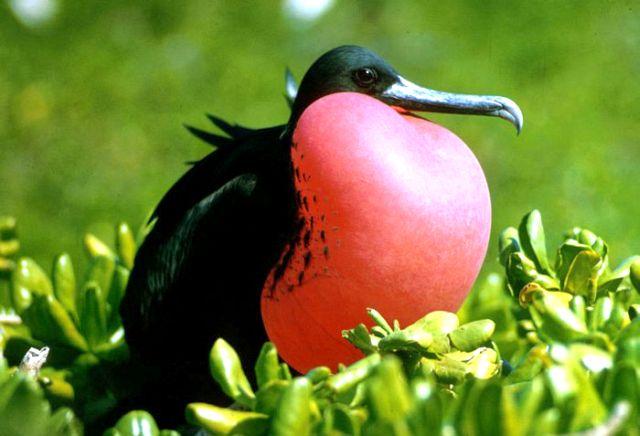 Птица фрегат с острова рождества фото