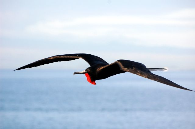птица фрегат - фото