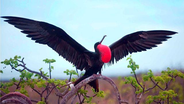 птица фрегат сидящая на дереве - фото