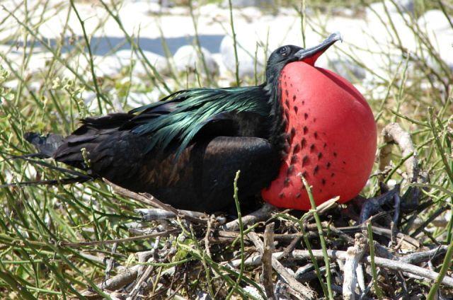 Птица фрегат в гнезде фото