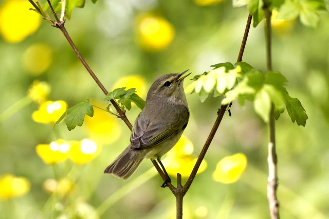 фото птица пеночка-трещотка
