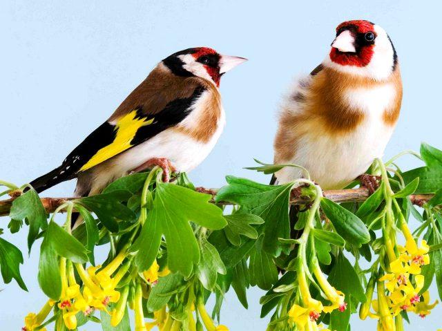 Самец и самка щегла в саду на кусте цветущей золотистой (черной) смородины.