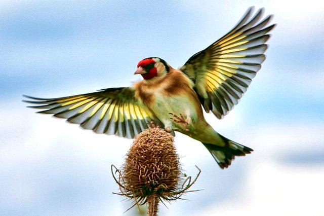 Птица щегол фото и описание