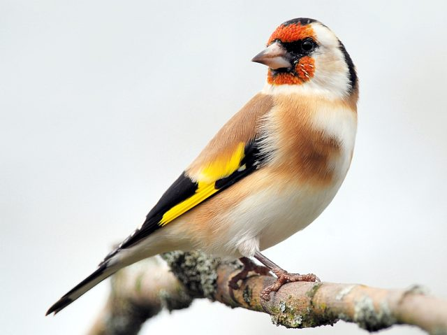 Щегол птица - фото самки