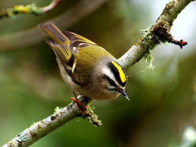 Птица королек - фото