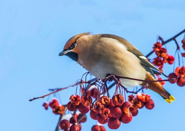лесная птица с хохолком на голове - свиристель