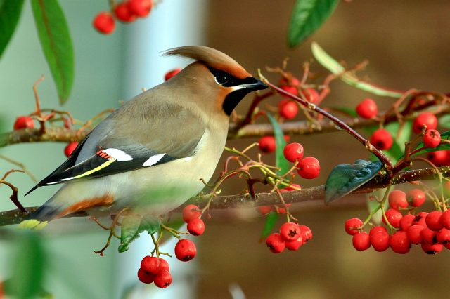 Птицы с хохолком на голове любят рябину фото и описание.