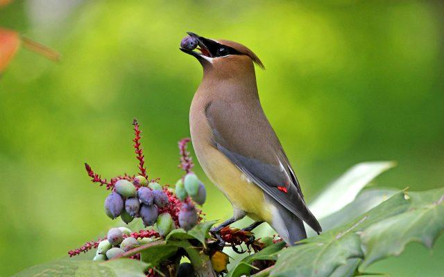 лесная птица с хохолком на голове