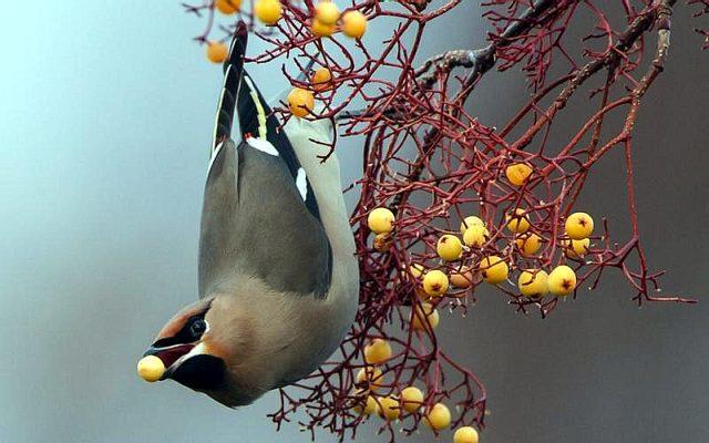 птица с хохолком на голове фото название