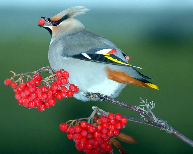 Птицы с хохолком на голове любят рябину.