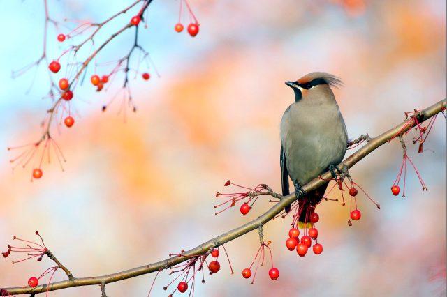 лесная птица с хохолком на голове - фото