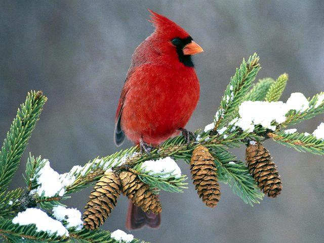 Птица кардинал тоже имеет хохолок на голове.