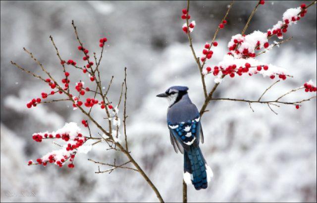 Лесная птица с хохолком на голове называется пересмешник, вот ее фото.