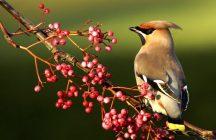 Птицы с хохолком на голове любят рябину