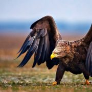 Самая большая хищная птица