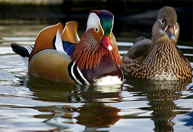 Селезень и утка различия – фото.