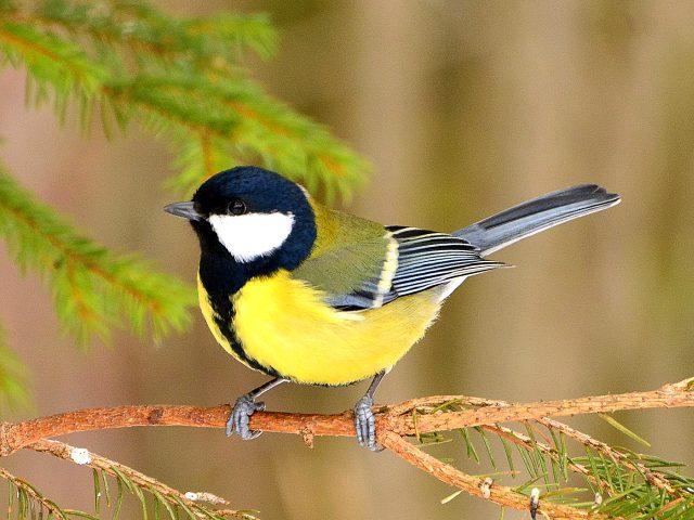 синица фото птица