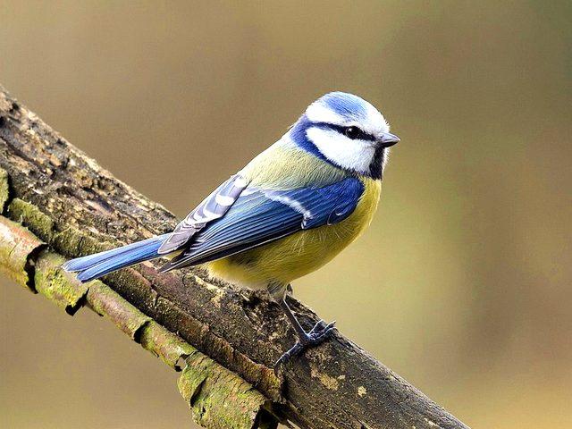 синичка лазоревка - фото