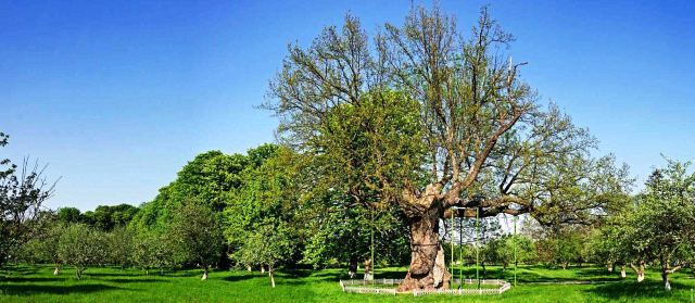 Царь-дуб сколько лет растет