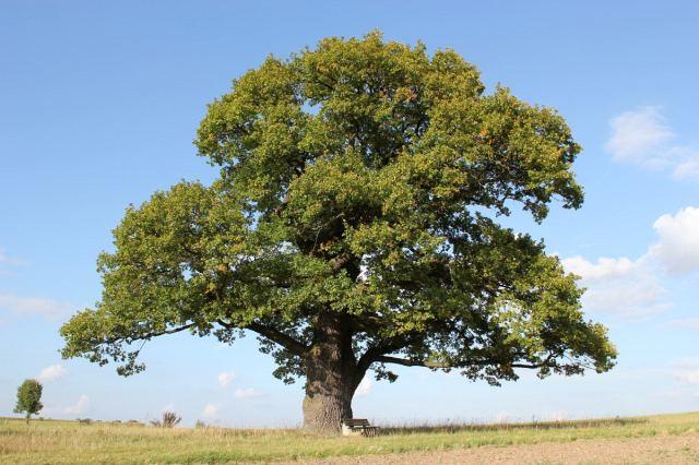 Сколько лет растет дуб из желудя