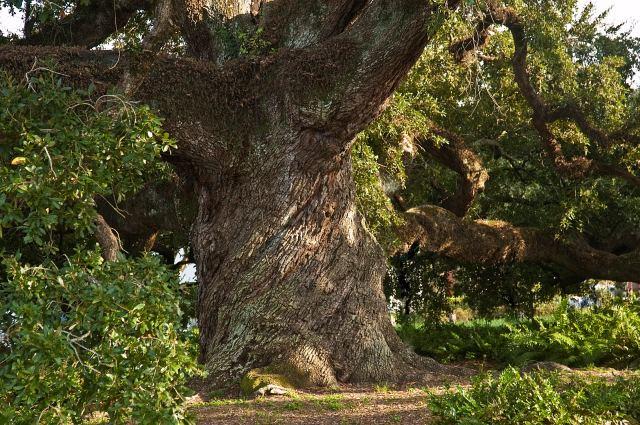 Сколько лет растет этот дуб?
