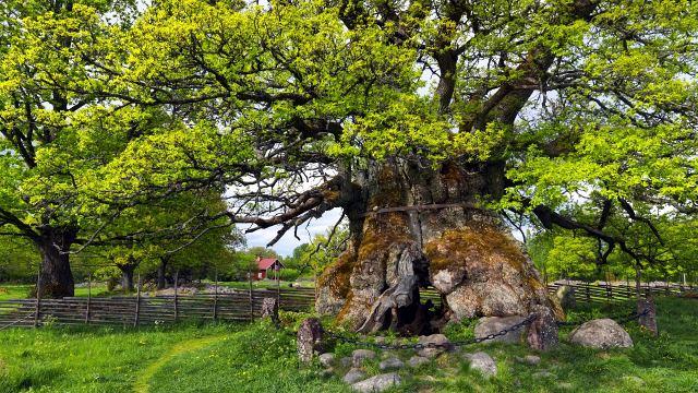 Сколько лет растет дуб