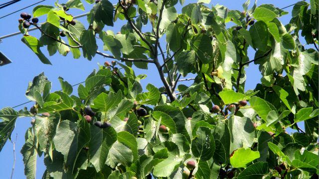 цвет ягод инжира в спелом виде - фото