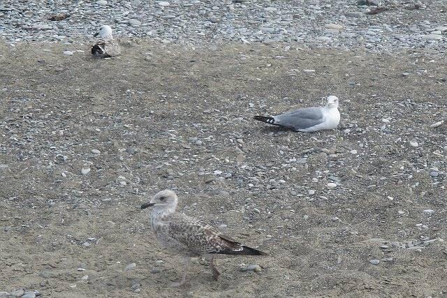 Серебристая чайка и ее великовозрастные птенцы