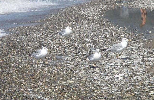 Черноморские серебристые чайки - фото