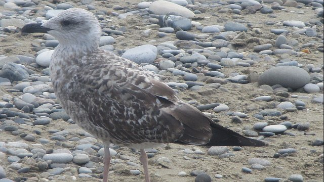 Птенец серебристой чайки на третьем году жизни