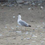 Стоит ли бояться Черноморских чаек, правда, что чайки нападают на детей.
