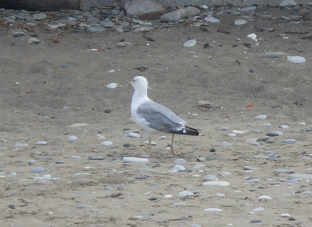 Серебристая чайка - фото