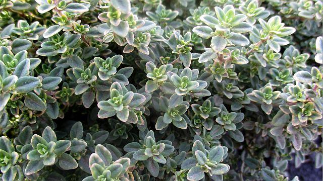 тимьян вечнозеленый женьшеневый фото растения